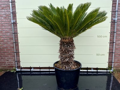 Cycas revoluta stamhoogte 40-50cm