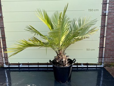 Jubaea Chilensis stamhoogte 25cm