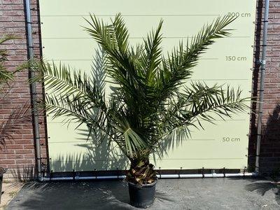 Phoenix Canariensis stamhoogte 20-30cm