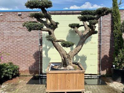 Olea Europea - Olijfboom pon-pon, stamomvang 100 - 110cm in hardhouten bak