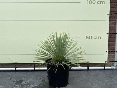 Yucca Rostrata 50cm