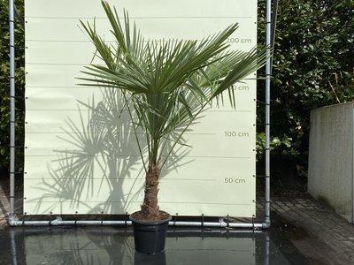 Trachycarpus Fortunei 30 - 40cm stamhoogte