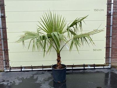 Washingtonia Robusta stamhoogte 10 - 20cm
