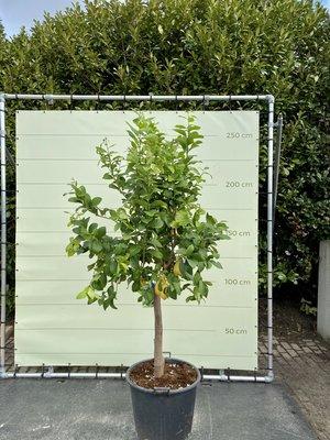 Citroenboom maat XL 250 cm