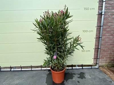 Roze Oleander - Nerium Oleander 90-100 cm