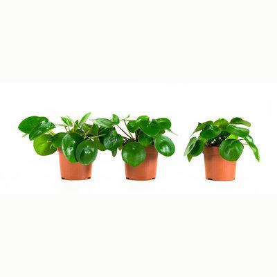 Peperomioides, Pannenkoekenplant (PILPEP11P)