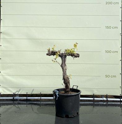 Druif op oude stam - stamhoogte 60-80 cm