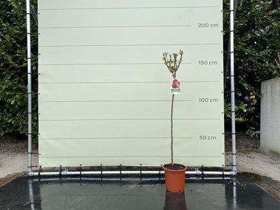 Granaatappelboom maat L
