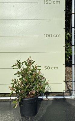 Callistemon struikvorm 60cm