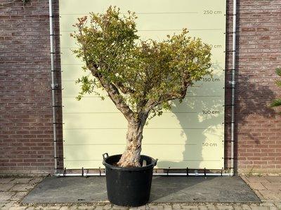 Granaatappelboom maat XXL, stamomvang 40-50cm