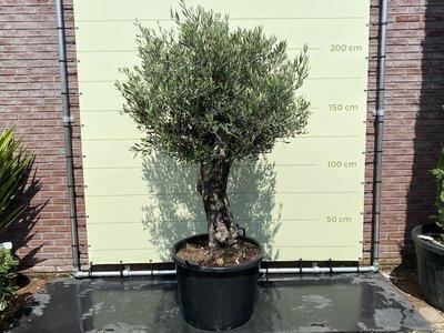 Olea Europea - Olijfboom Bonsai stamomvang 60 - 80cm