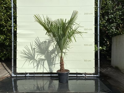 Trachycarpus Fortunei 20 - 30cm stamhoogte