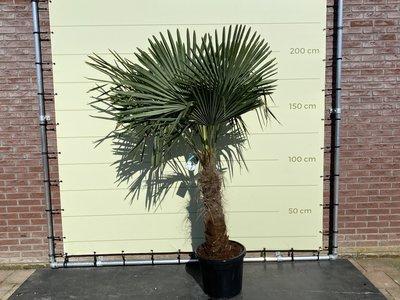 Trachycarpus Fortunei 60- 80cm stamhoogte
