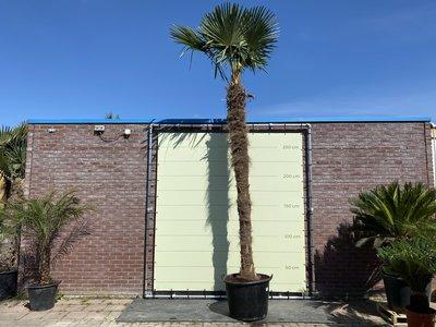 Trachycarpus Fortunei 400cm stamhoogte