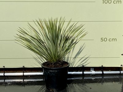 Yucca Rostrata 50-70cm