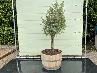 Olea Europea - Olijfboom, stamomvang 20-40 cm in half wijnvat