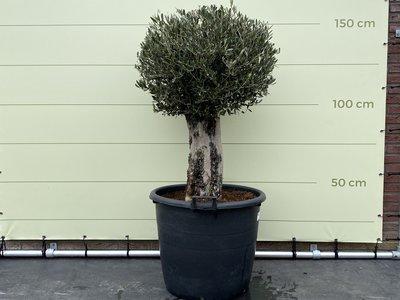Olijfboom bol op stam 150 cm, stamomvang 50 - 60 cm