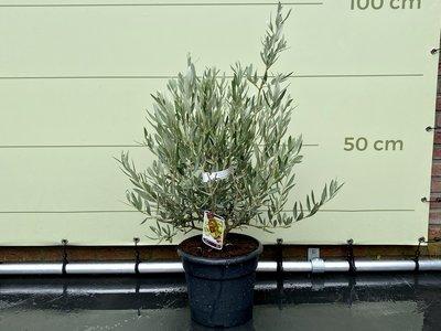 Olea Europea - Olijf in struikvorm 75 cm