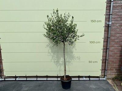 Olea Europea - Olijfboom met gladde stam, stamomvang 6 - 8 cm
