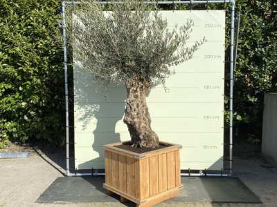 Olea Europea - Olijfboom Bonsai, stamomvang 80 - 100 cm in hardhouten bak