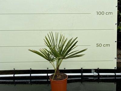 Trachycarpus Fortunei 10 cm stamhoogte
