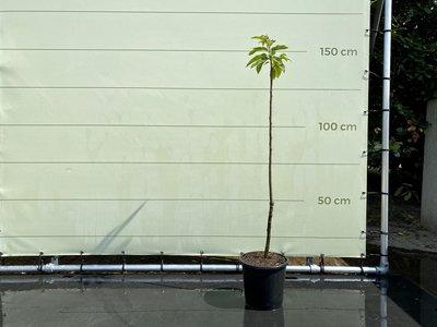 Castanea Sativa - Kastanjeboom 150 cm