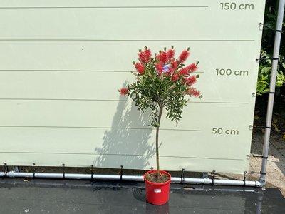 Callistemon op stam 120 cm