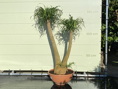 Beaucarnea Recurvata hoogte incl. pot 150 cm