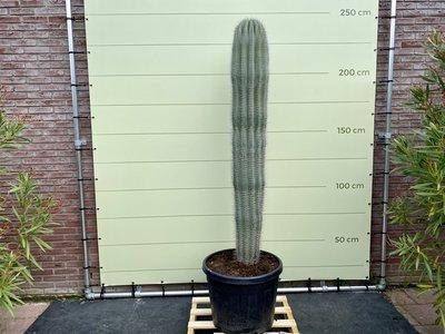 Pachycereus Pringlei - 230 cm
