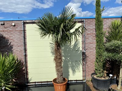 Trachycarpus Fortunei 120-140 cm stamhoogte