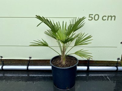 Trachycarpus Wagnerianus stamhoogte 10-20 cm