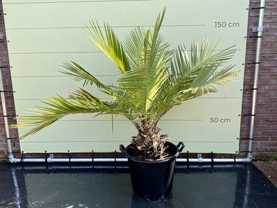 Jubaea Chilensis stamhoogte 25 cm