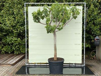 Vijgenboom - 250 cm, stamomvang 30-40 cm met zoete donkere vijg