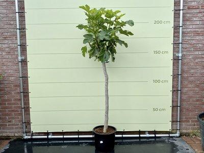Vijgenboom - Ficus Carica 225 cm, stamomvang 14-18 cm, zoete donkere vijg