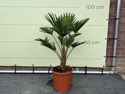 Trachycarpus Wagnerianus stamhoogte 20 - 30 cm