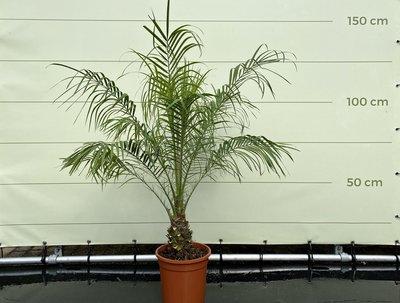Phoenix Roebelenii stamhoogte 20-30 cm