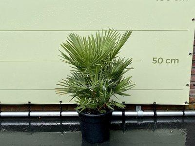 Chamaerops Humilis hoogte incl. pot 75 cm