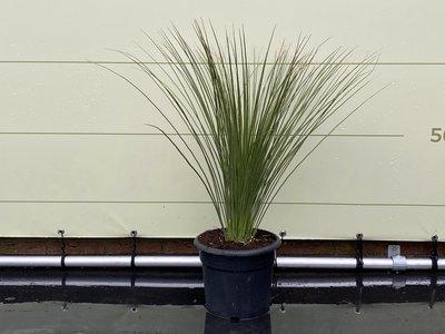 Mexicaanse Grasboom - Maat S 80 cm