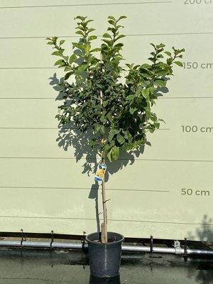 Citroenboom maat L 160 cm