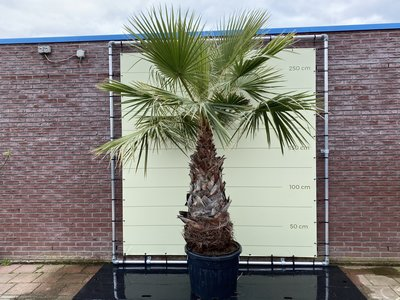 Washingtonia Robusta stamhoogte 90-100 cm