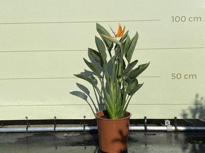 Paradijsvogelbloem - Strelitzia Reginae 60 - 80 cm