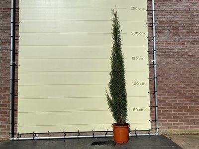 Italiaanse Cipres Totem 250 cm