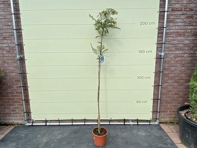 Jacaranda Mimosifolia 200 cm