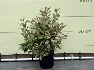 Olijfwilg struikvorm 80 - 120 cm
