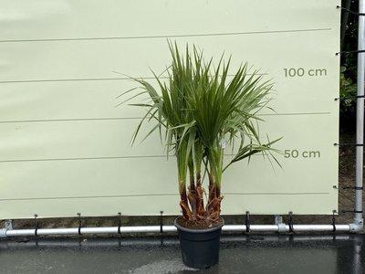 Washingtonia Robusta  multistam stamhoogte 15-20 cm