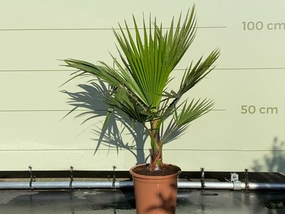 Washingtonia Robusta stamhoogte ca. 20 cm