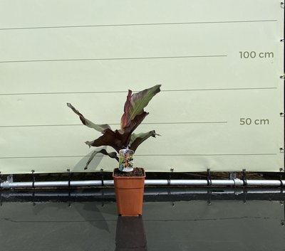 Musa Maurelli - Rode Bananenplant 90 cm
