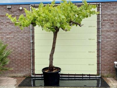 Oude druif op hoge stam 240 cm incl. pot