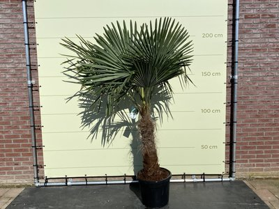 Trachycarpus Fortunei 60- 80 cm stamhoogte