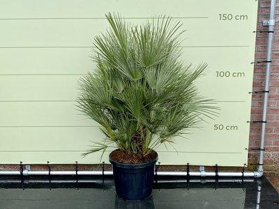 Chamaerops Humilis hoogte incl. pot ca. 150 cm